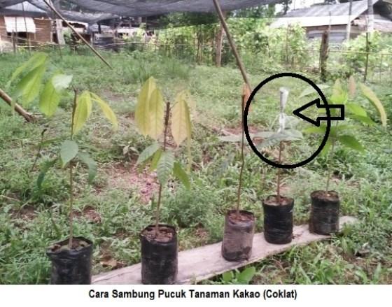 cara sambung pucuk tanaman kakao
