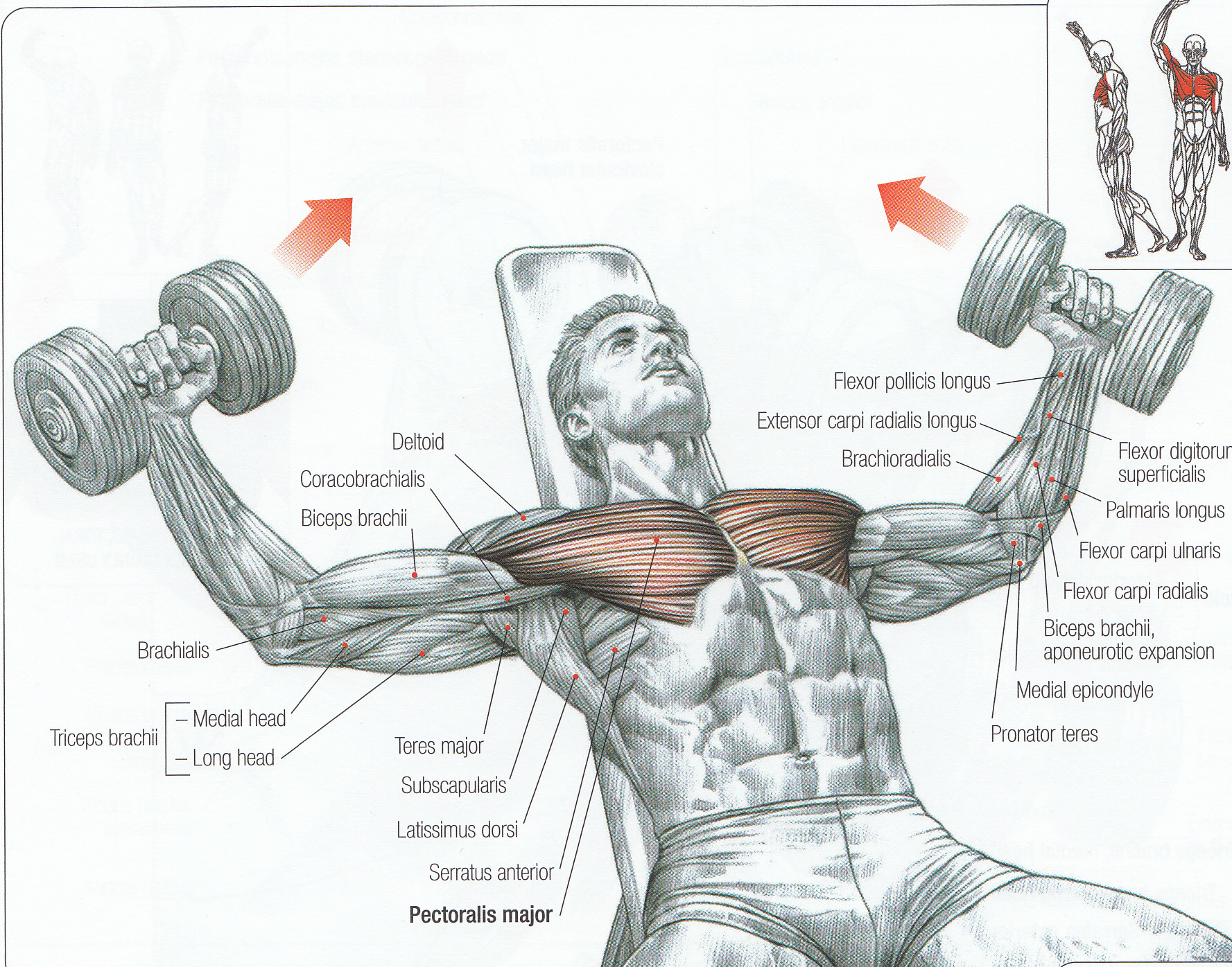 hight resolution of diagram of pecs wiring diagrams diagram of pectoral muscle diagram of pecs