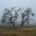 Live Oak in the fog