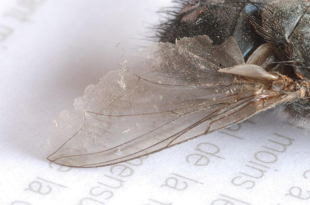 Aile de mouche