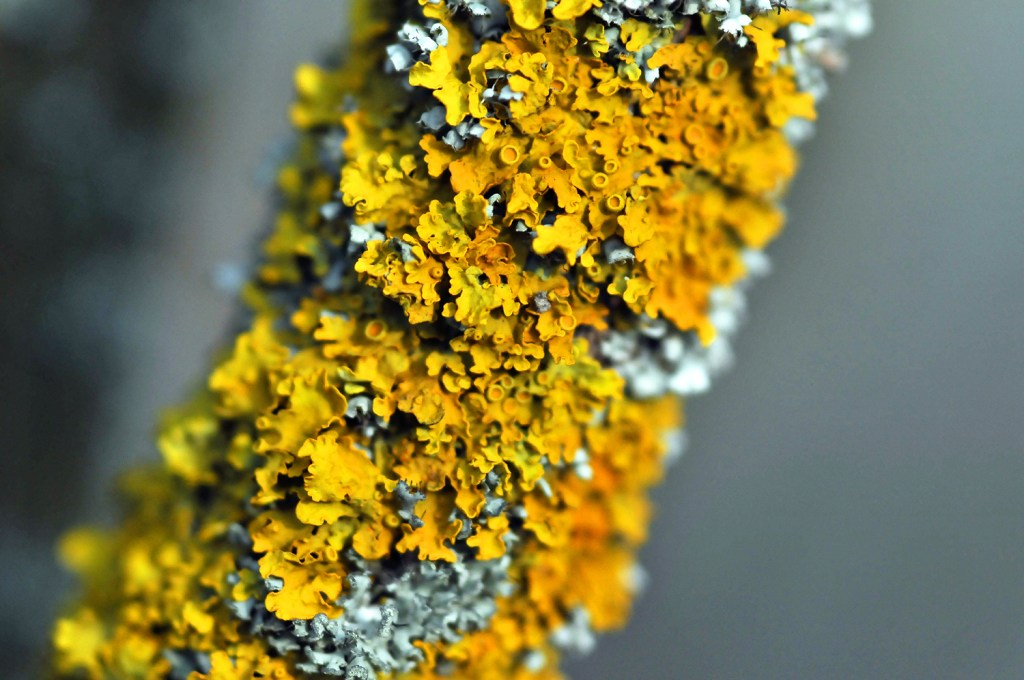 Verdure jaune