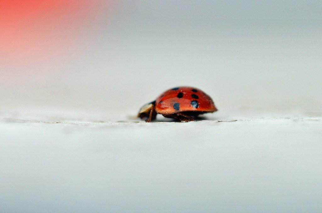 Ladybug profile