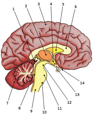 Blank Brain Diagram : blank, brain, diagram, Label, Brain, Anatomy, Diagram, Answers, Labels, Database