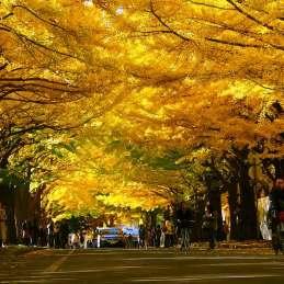 札幌 北大銀杏並木 紅葉