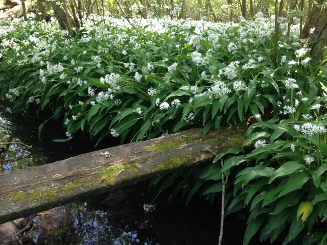wild garlic galore