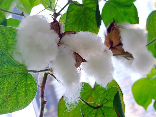 綿籽油是什麼? 會造成人體多大的危害?