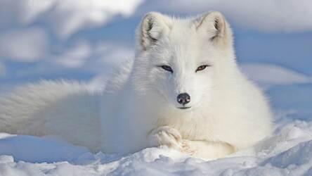Wallpaper Anime Arctic Fox