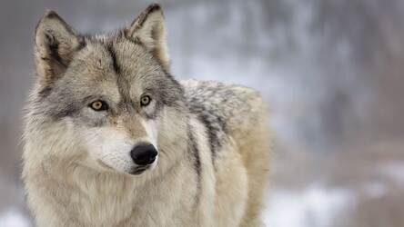 Wolf Wallpaper HD New Tab Wolves Themes HD Wallpapers & Backgrounds