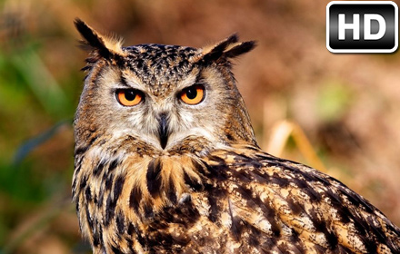 Fall Wallpaper Horses Owl Wallpaper Hd New Tab Owls Themes Hd Wallpapers