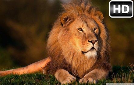 Lion Wallpaper HD Lions New Tab Themes Free Addons
