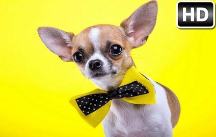 Cute Zelda Phone Wallpaper Chihuahua Dogs Wallpaper Hd New Tab Themes Hd Wallpapers
