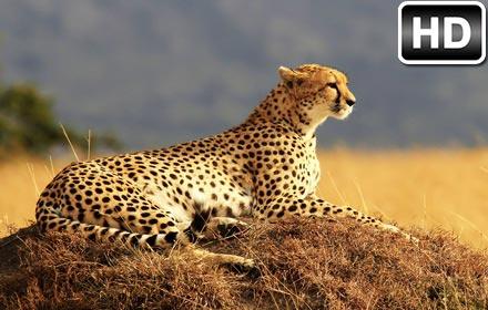 Puppies And Fall Wallpaper Cheetah Wallpaper Hd New Tab Cheetahs Themes Free Addons