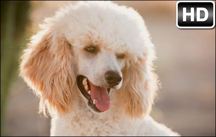 Free Cute Fall Wallpapers Poodle Wallpaper Cute Dogs New Tab Themes Free Addons