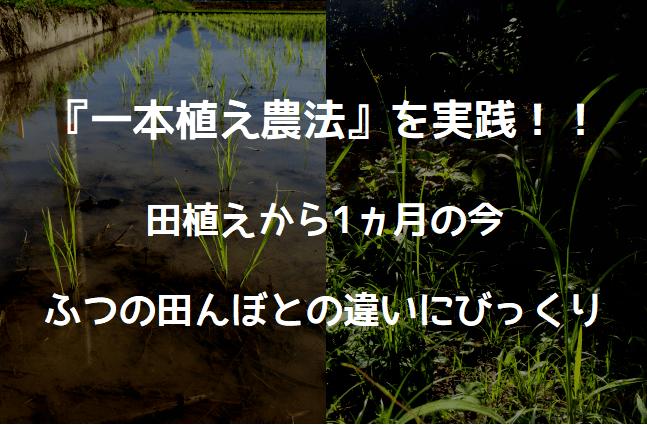 一本植え農法 実践編1ヵ月