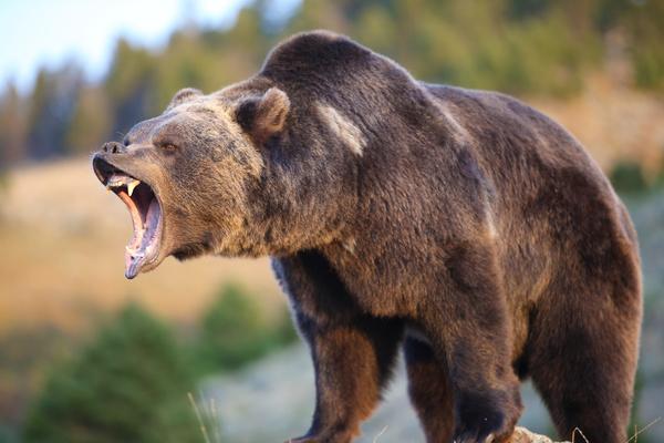 a mouth roaring bear