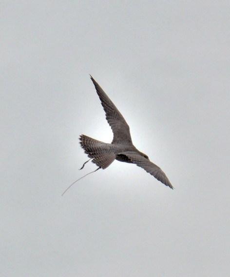 Peregrine Falcon Flying DSC_0940