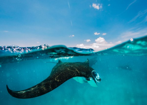 Freediving with Manta Rays