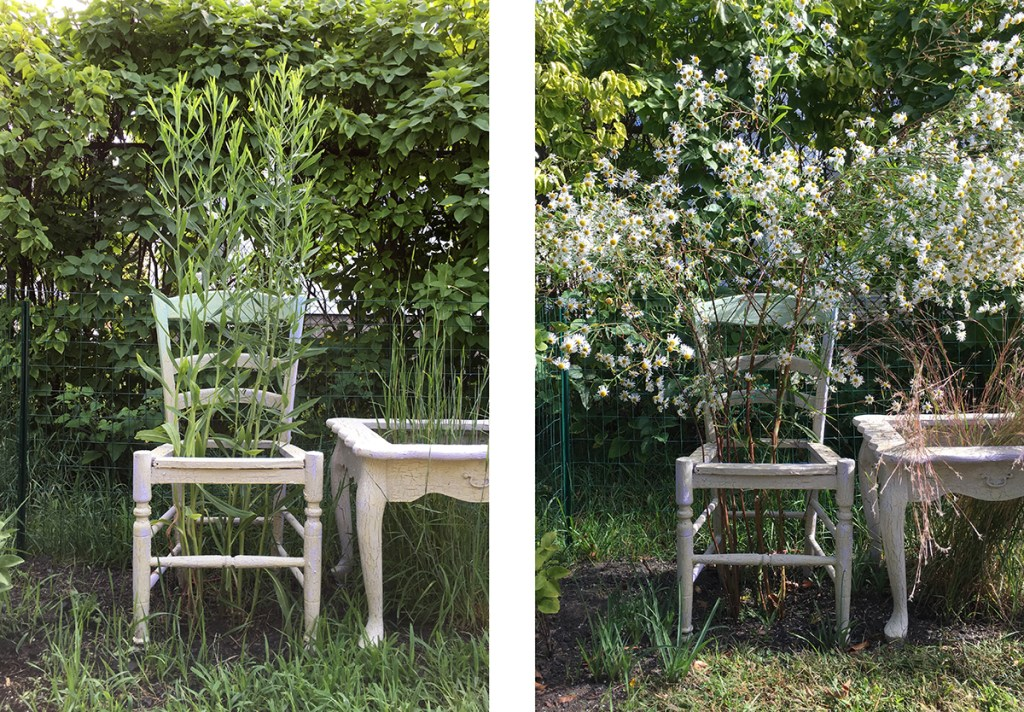 Room to Grow detail, chair with Boltonia asteroides, July 20 and September 22, 2019. Freedom Baird