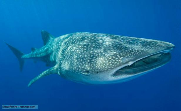 Whale shark {Rhincodon typus} Keauhou, Kona Coast, Hawaii. Note - Remora or Sharksucker {Echeneis naucrates} protruding from shark's spiracle (behind eye)