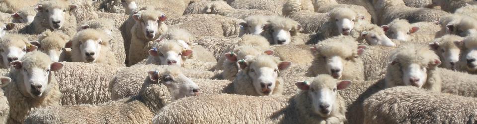 sheep-header-960x250