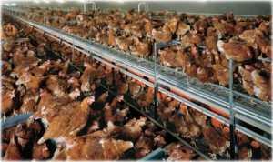 Black Eagle Farm: Story of an Organic Egg Scam