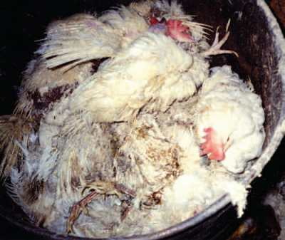"Because ""spent"" hens have no market value, few slaughter plants will take them. To get rid of these hens, farmers suffocate them to death in giant Dumpsters, gas them to death with carbon dioxide (CO2), and bury them alive in landfills."