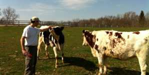 Dutch Study: Dairy Cows Have Individual Personalities