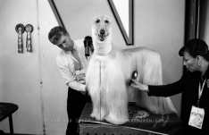 World Winner Dog Show. A greyhound is combed and blow-dried for the show. RAI, Amsterdam 4-7 July 2002 Photo Jan van IJken