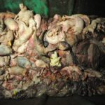 Dead and dying pigs are put in this dumpster at a factory farm. Photo by Jo-Anne McArthur, www.weanimals.org