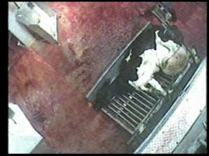 Dairy cow slaughtered