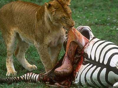 Lion killing prey