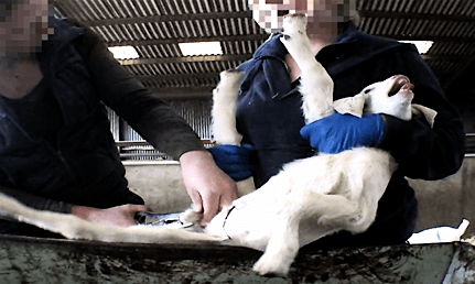 photo of castration of kid goat