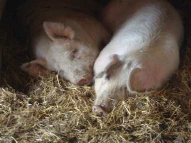 Hope and Faith, two pigs rescued from Wagner Farm by Wagner Farm Rescue Fund. Photo courtesy of Debby Rubenstein