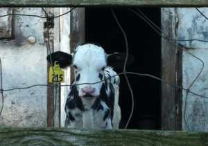 alternative to factory farming dairy calf in confined hutch