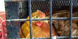 My Visit to a Local Live Poultry Market