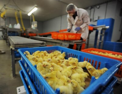 chicks_hatchery