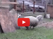Sheep who jumps for joy