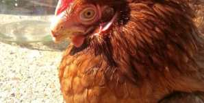 Meet Louise: Free from Harm's Latest Rescued Chicken