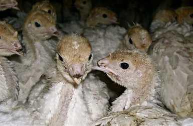 Debeaked turkey poults. Image courtesy of Farm Sanctuary
