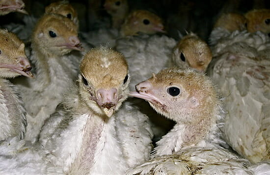 Debeaked turkey poults. Image courtesy of Farm Sanctuary