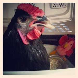 Ezra The Rooster: The Little Chicken Who Could!