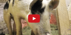 This Piglet's Miracle Rescue Story Will Make You Cry: Must See Video