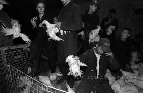 poultry products, chicken catching