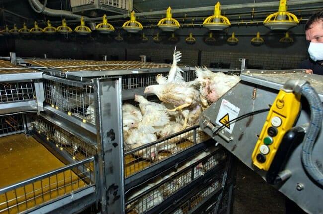 chicken facts, chicken catching machine