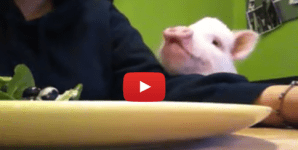 Why Did This Video of a Pig Eating Salad Get 600,000 Views?