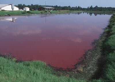 The area around a single hog slaughterhouse can contain hundreds of waste lagoons. The interactions between the bacteria, blood, afterbirths, stillborn piglets, urine, excrement, chemicals and drugs frequently turn the lagoons pink.