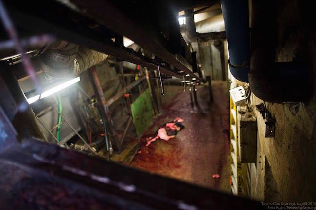 Slaughterhouse floor. Photo: Anita Krajnc / Toronto Cow Save.