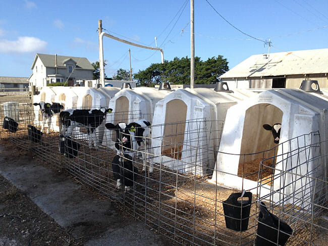 Female calves considered fit for milk production are taken from their mothers on the day of their birth and placed in these plastic hutches. (Photo: Robert Grillo)