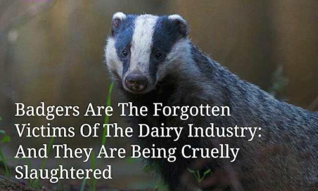 badgers dairy wildlife meat