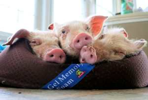 Incredible Rescue of 42 Piglets From Gas Chamber